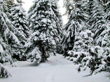 Ели снегу