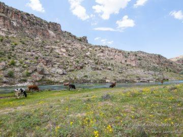Коровы возле реки