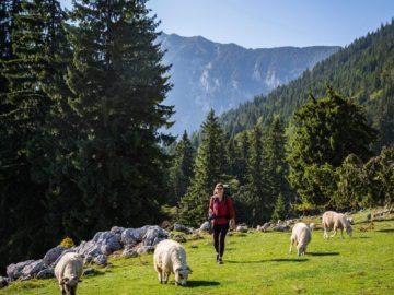 Встретили овец на лужайке