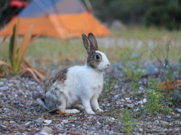 Бело серый кролик