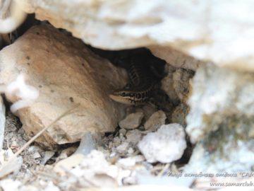 Ящерица в камнях