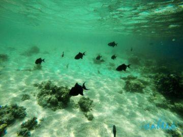 Много черных рыб